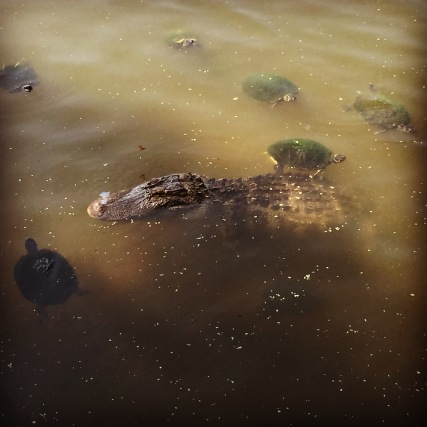 Turtles and alligators living in harmony at Greenfield Lake Park. Photo by Shannon Rae Gentry